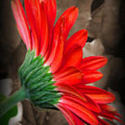Gerber Daisy Bashful Red Poster