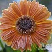 Gerbera Daisy Covered In Frost Poster