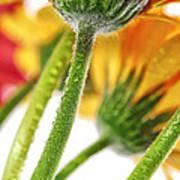 Gerbera Flowers Poster