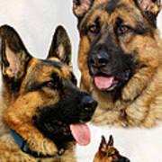 German Shepherd Collage Poster