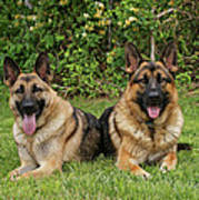 German Shepherds - Mother And Son Poster