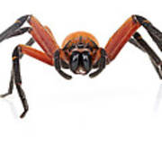 Giant Crab Spider Suriname Poster