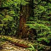 Giant Douglas Fir Trees Collection 3 Poster