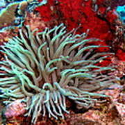 Giant Green Sea Anemone Against Red Coral Poster