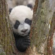 Giant Panda Cub Bifengxia Panda Base Poster