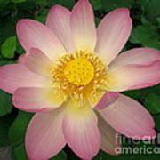 Giant Pink Lotus Poster