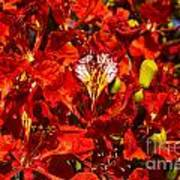 Giant Poinciana Blooms Poster