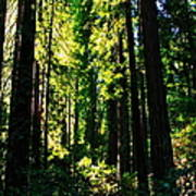 Giant Redwood Forest Poster