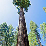 Giant Sequoia In Mariposa Grove In Yosemite National Park-california  Poster