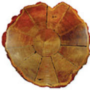 Giant Sequoia Section Poster