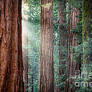 Giant Sequoias In Early Morning Light Poster