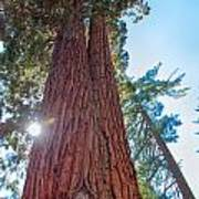 Giant Sequoias Poster