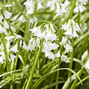 Giant Snowdrops Poster