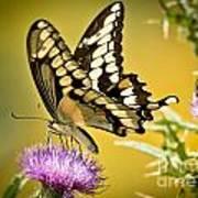 Giant Swallowtail On Thistle Poster