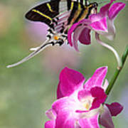 Giant Swordtail Butterfly Graphium Androcles On Orchid Poster by Robert Jensen