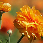 Giant Tecolote Ranunculus - Carlsbad Flower Fields Ca Poster