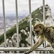 Gibraltar Monkey Poster by Stefano Piccini