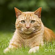 Ginger Cat In Garden Poster