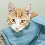 Ginger Kitten In A Basket Poster