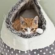 Ginger Kitten In An Igloo Poster