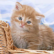 Ginger Kitten In Basket Poster