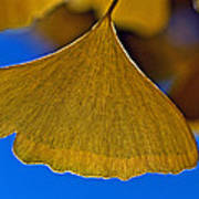Gingko Leaf Losing Chlorophyll Poster