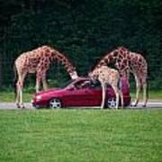 Giraffe. Animal Studies Poster