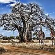 Giraffe Duo Poster