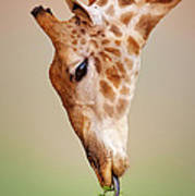Giraffe Eating Close-up Poster