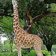 Giraffe Eats-09053 Poster