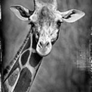 Giraffe Face In Black And White Poster