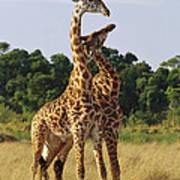 Giraffe Males Sparring Masai Mara Kenya Poster