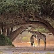 Giraffe - Namibia Poster