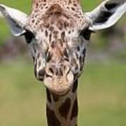 Giraffe Peek A Boo Poster Poster
