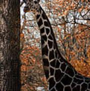 Giraffe Posing Poster