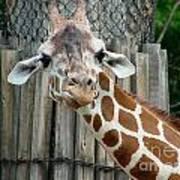 Giraffe-really-09025 Poster