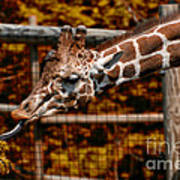 Giraffe Showing His 20 Inch Tongue Poster