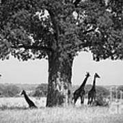Giraffes And Baobab Tree Poster