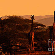 Giraffes At Sundown Poster