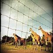Giraffes Leave Poster