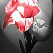 Gladiola With Heart Poster
