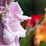 Gladiolus Bouquet Poster