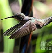 Gliding Hummingbird Poster