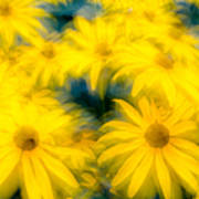 Glowing Blossoms Black Eyed Susans Poster