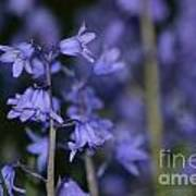 Glowing Blue Bells Poster