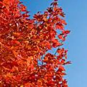 Glowing Fall Maple Colors 1 Poster