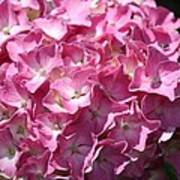 Glowing Pink Hydrangea Poster