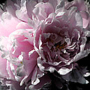 Glowing Pink Peony Poster