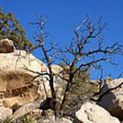 Gnarly Joshua Tree Poster by Barbara Snyder