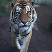 Go Get 'em Tiger Poster by Brenda Schwartz